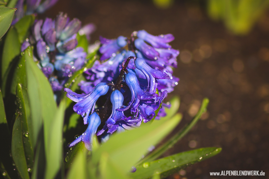 Tiefenschärfe Blume alpenblendwerk.de